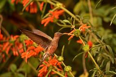 comiendo (Pablo.V.) Tags: chile naturaleza flores birds animals aves alimento pjaros verano gigante maitencillo comiendo colibr volando 2016 picaflor picaflorgigante
