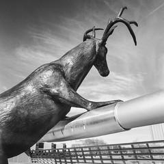 8 point daydream (GmanViz) Tags: bridge sky blackandwhite bw sculpture art 120 6x6 film bronze analog mediumformat deer hasselblad columbusohio buck kodaktmax400 500cm gmanviz sciotomile zeissdistagon50mmf4
