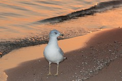 2015  Sunrise Ringed-bill Gull (DrLensCap) Tags: chicago bird robert sunrise point illinois gull il montrose kramer sanctuary montrosepointbirdsanctuary ringedbill