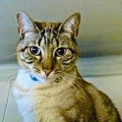 Amadeos (pedrosimoes7) Tags: cats portugal kitten chat lisbon gatos creativecommons felini felines 1on1pets catmoments hellopussycat dogsandcatsaroundtheworld amadeos lovelycatsanddogs fromthewwwflickrcomgroups1on1petsgroup