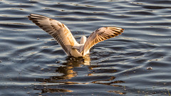 Meeuwen (Omroep Zeeland) Tags: meeuwen kaaskenswater