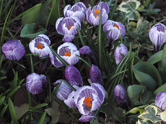 early spring '16 color (heinz41) Tags: flowers vancouver spring crocus olympus stanleypark oly25mm epl7