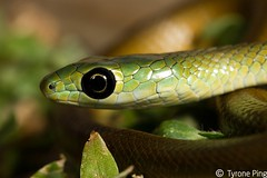 Philothamnus natalensis occidentalis - Western Natal Green Snake. From Champagne Valley, Kwa-Zulu Natal. Non-Venomous http://www.tyroneping.co.za/snakes/philothamnus-natalensis-occidentalis/ (Tyrone Ping) Tags: africa macro green up field natal canon close snake south 7d western harmless grene drakensberg occidentalis fieldherping natalensis 100mmmacrof28 philothamnus tyroneping wwwtyronepingcoza
