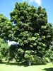 starr-091104-0891-Castanospermum_australe-habit_with_Forest-Kahanu_Gardens_NTBG_Kaeleku_Hana-Maui (Starr Environmental) Tags: castanospermumaustrale