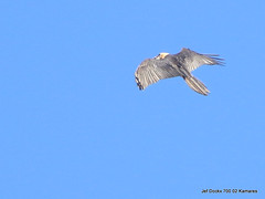 Gypaetus barbatus met nestmateriaal (Jef Dockx) Tags: bartgeier beardedvulture gypaetusbarbatus lammergier gypaètebarbu nestmateriaal γυπαετόσ