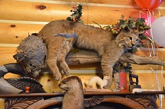 "Stuffed Bobcat In the Cabin after the Elk Viewing Sleigh Ride - Thunder Bay Resort, Hillman, MI (Corvair Owner) Tags: bridge trees winter horse snow cold sport mi dinner forest golf bay cabin woods day carriage ride outdoor five michigan 14 scenic resort course gourmet trail meal mich dining supper elk february drawn bobcat sleigh viewing thunder preparation hillman alpena 2016 ""snow valentine's covered"""