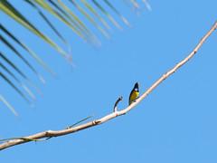 Olive-backed Sunbird (male) (Oleg Chernyshov) Tags: olivebackedsunbird cinnyrisjugularis yellowbelliedsunbird cinnyrisjugularisfrenatus желтобрюхаянектарница синегрудаянектарница