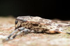 Cerambycidae. Anancylus griseatus (Pascoe, 1858). (David Ball.) Tags: singapore cerambycidae lamiinae canon270ex ananrcylusgriseatus