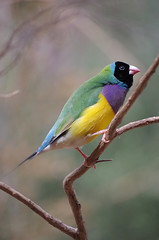Gouldian Finch IMGP4741 (Cee Jay Cee) Tags: bird australian finch gouldian