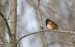 Eastern Towhee-male (D Zachary Phipps) Tags: park woods state eastern towhee hueston