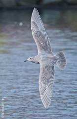 BIF training (punkbirdr) Tags: birds wings gulls birding birdsinflight d7100 kusmin tc14eii14x nikkor300mmf4epfedvr