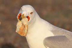 The Big Gulp - Gull Style (Gavin Edmondstone) Tags: gull ringbilledgull larusdelawarensis olympus300mmf40isproedmzuiko