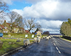 Sheep on the road (Jecurb) Tags: goathland nymr northyorkshiremoors