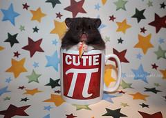 Happy Birthday Pi! (.annajane) Tags: birthday pet cute stars pi hamster  syrianhamster mesocricetusauratus