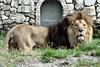 Lion (Haku_Orka) Tags: italy parco animals cat zoo photo big support king italia lion land felini re della mammals leone animali foresta photograhpy mammiferi faunistico terrestri valcorba hakuorka