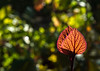 Patch of sunlight (docoverachiever) Tags: two orange plant macro green nature leaves leaf spring bokeh pair foliage veins backlit challengeyouwinner