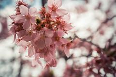 20160306-DSC_6162 (Kay's...) Tags: cherryblossom sakura   wuling wulingfarm
