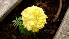 """هل تريد الجمال؟    ابحث عنه داخلك 😊 . . By Sony Xperia Z5  . . #تصويري #تصوير #صوري #صور #صورة #عدستي #من_تصويري #من_عدستي #ورد #ورود #وردة #طبيعة #أصفر #زرع #نبات #سوني #اكسبيريا #زد_5 #زد5 #الناس_الرايئة #السعودية  . #flowers #rose #roses #nature (ICE DESERT """" Ahmed """") Tags: flowers roses nature rose sony saudi z5 صور وردة ورود ورد صورة تصوير عدستي صوري تصويري السعودية طبيعة أصفر نبات زرع سوني xperia اكسبيريا منعدستي منتصويري الناسالرايئة زد5"""