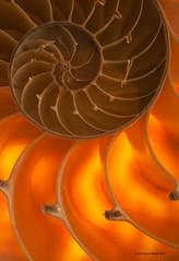 Nautilus Backlit 2 (gerilynns) Tags: orange macro shell backlit lightbox nautilus
