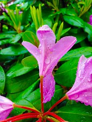 Drizzled Pink (Scorpiol13) Tags: saveearth garden nature signsofspring spring blossom bloom ephemeral delicate waterdroplets wet drizzle petals raindrops droplets pink flower
