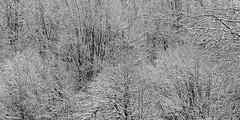 winter forest 0931 (s.alt) Tags: snowflake schnee winter blackandwhite plant cold tree ice nature monochrome beauty horizontal forest landscape outdoors bayern frozen blackwhite woods ast frost branch outdoor natur verschneit snowcapped silence wilderness kalt landschaft wald baum purity forst winterwald laubbaum winterforest gehlz whitelandscape waldland waldgebiet natureunveiled schneedecke waldung