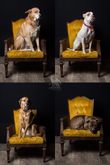 The Schmit Pack (CJ Schmit) Tags: dogs wisconsin canon chair canine milwaukee wauwatosa dogphotography mke petphotography studioshoot rescues canonef50mmf18ii pocketwizards alienbeeb800 adopoted canon5dmarkiii 24x36softbox cjschmit 5dmarkiii wwwcjschmitcom cjschmitphotography dragonspitstudios