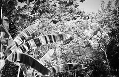 26520030 -  () Tags: bw bali film minolta     indonisia  banyuwangi  minoltaxe rokkor50mmf14