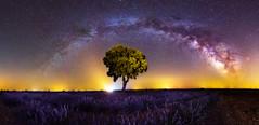 Milky way over lavender field (el_farero) Tags: tree canon arbol nightshot lavender via nocturna fotografia milkyway lactea farero
