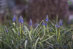 muscari (mirkopizzaballa) Tags: macro verde primavera nikon fiori piante muscari fioritura fiorellini nikond7200