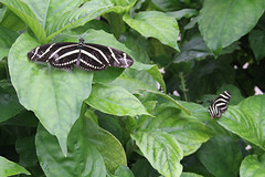 Zebra Butterflies (ambeanerxcore) Tags: white black nature gardens butterfly garden botanical pattern texas south wing stripe center zebra christi corpus striped heliconian nymphalidae heliconiinae longwing heliconius aposematic charithonia