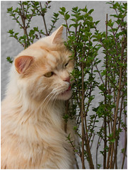 I'm so in love with our new lilac bush ! (FocusPocus Photography) Tags: pet animal cat bush chat linus lilac gato katze shrub haustier kater tier busch flieder