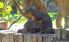 Hold Still Mom!  I'm Thirsty! (Kaptured by Kala) Tags: baby nature squirrel squirrels feeding mother drinking brickwall nursing motherandbaby babysquirrel motherlove foxsquirrel garlandtexas nursingmother mothersquirrel