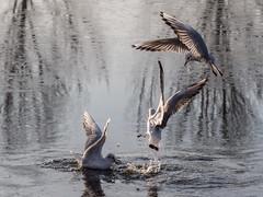 Meeuwen (Omroep Zeeland) Tags: vogels meeuwen jaren