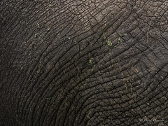 Elephant texture (davdenic  in the sky ) Tags: africa nature tanzania wildlife safari ngorongoro serengeti savanna savana