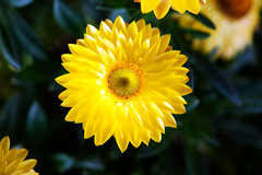 A yellow Quinta Flower (Pensive glance) Tags: plant flower nature fleur plante aster everlasting immortelle