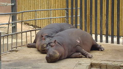 hipopotamo (mpilaretxebarria) Tags: zoo hipopotamo