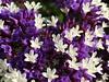 tiny wonders (saudades1000) Tags: flores primavera spring purple roxo lilas