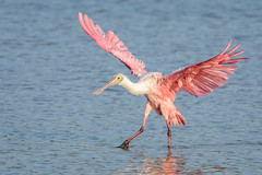 All Tidied Up! (craig goettsch - On Walkabout) Tags: pink bird nature water animal nikon florida feather sanibelisland avian roseatespoonbill d610 600mm woildlife