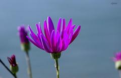 Capter la lumire !! (Elyane11) Tags: fleurs soleil lumire mauve printemps ros osteospermum fleurir spanouir sonyslta57