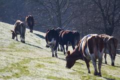 Morgentau (anita.niza) Tags: cows morningdew khe vaches