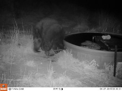 04270187 (Tina A Thompson) Tags: arizona blackbear willcox ranching ranchlife gamecam willcoxaz cochisecounty cattleranch trailcam cattlecountry arizonawildlife willcoxarizona arizonaranches sunizonaarizona wildlifeoncattleranches