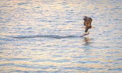 Heavy Hauling. (Omygodtom) Tags: bird nature outdoors nikon eagle wildlife animalplanet nikon70300mmvrlens heavyhauling