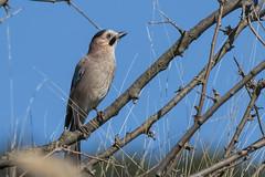 Timid Eyes (keynowski) Tags: ngc animalplanet eurasianjay garrulusglandarius alakarga