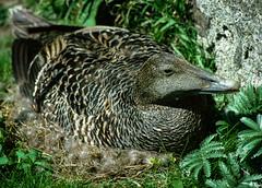 Eider Duck - Farne Islands (Hector Patrick) Tags: bird nature wildlife ducks northumberland 35mmfilm pentaxk1000 farneislands eider