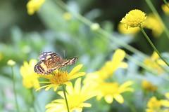 Slightly pose (Hernan Soberon) Tags: flowers flores yellow butterfly colombia thing amarillo delicate mariposas medellin antioquia slightly delicado jardinbotanico hsoberon hernansoberon endorinc norebos