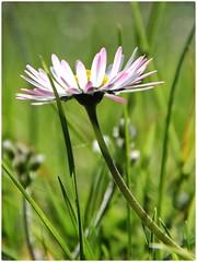 Die Augen offen halten. (***toile filante***) Tags: flower green grass meadow wiese daisy gras grn blume gnseblmchen