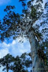 Eucalipto centenario. (Airbeluga) Tags: espaa paisajes naturaleza nature santander cantabria farocabomayor cabomayor marcantbrico ensenadademataleas