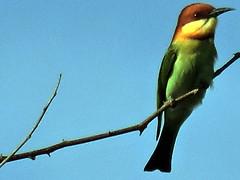 Chestnut-headed Bee-eater, Merops leschenaulti (asterisktom) Tags: cambodia sihanoukville february beeeater 2016 chestnutheadedbeeeater meropsleschenaulti trip20152016cambodiataiwan