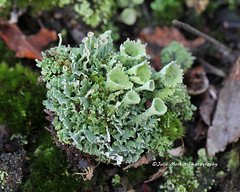 Pixie Cup - Cladonia Pyxidata and lichens (juliam23) Tags: uk winter macro cup nature canon lens buxton norfolk pixie fungi heath lichens heathland cladonia ef100mm pyxidata eos60d lichenised