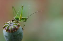 High on Poppy (Anne Worner) Tags: macro animal closeup lensbaby bug insect nikon legs bokeh outdoor depthoffield tiny katydid antennae feelers bugeyed f20 scudderiafurcata longhornedgrasshopper forktailedbushkatydid threadlike d7000 anneworner velvet56